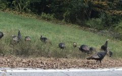Local Turkeys Gone Rogue